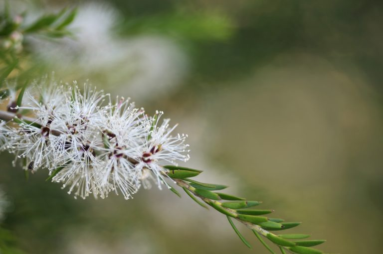 Fleurs d'arbre à thé