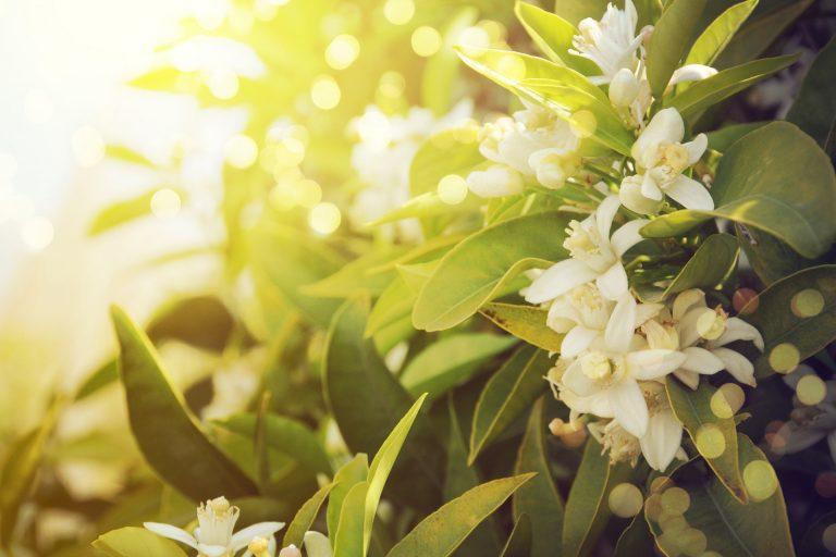 Fleurs d'oranger sur la branche