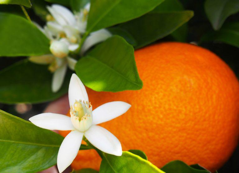 Fleur d'oranger dans un jardin